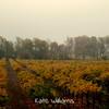 Autumn Vineyard in Fog
