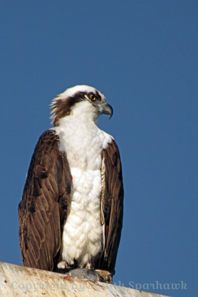 Osprey ~ This Osprey was perched prosaically on a street light in La Jolla Cove.  He was gazing down over the ocean water, perhaps looking for a yummy fish for breakfast.