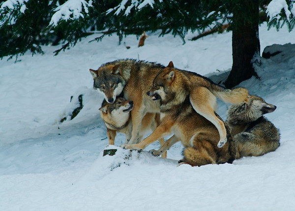 Wolf pack jostling in the snow