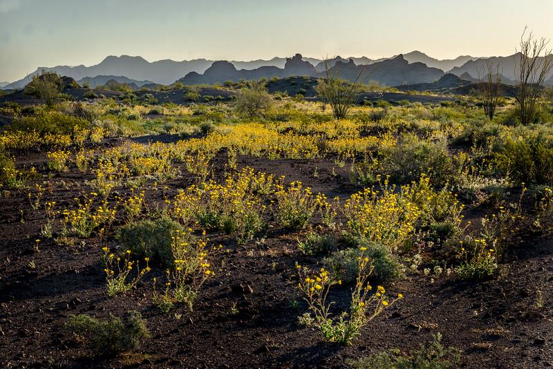 Desert  Sunflowers #1