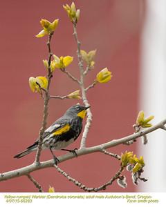 Yellow-rumped Warbler Audubon's M66283.jpg