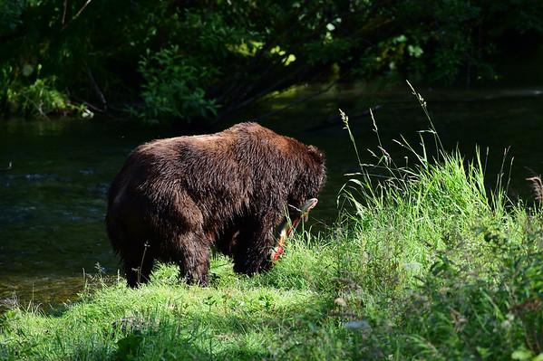 8-07-14 Grizzly Bears Hyder Alaska