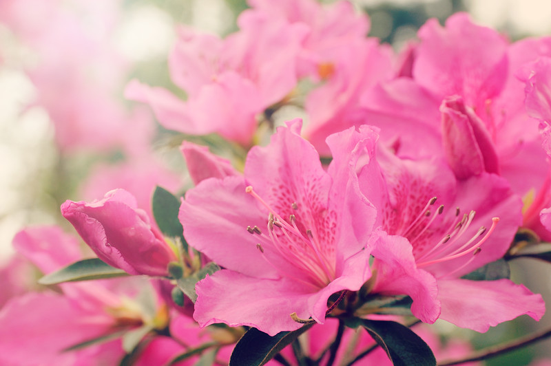Mom's azaleas were in full bloom today.