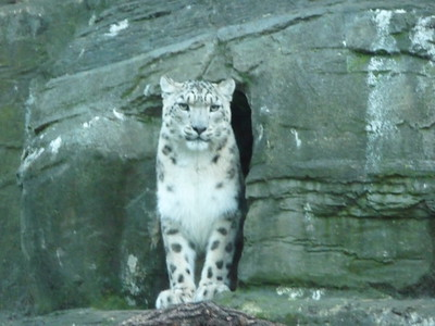 Snow Leopards at Marwell Zoo