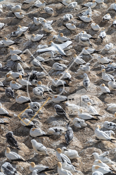 aerial image of gannet overflying the colony at Muriwai in search of its nest and young.