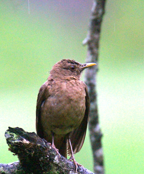 Clay-colored Thrush or Yiqüirro