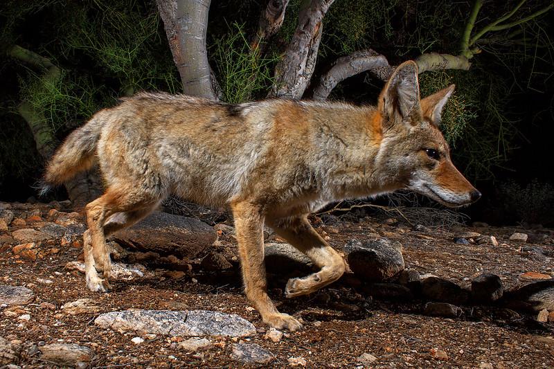 coyote409.jpg
