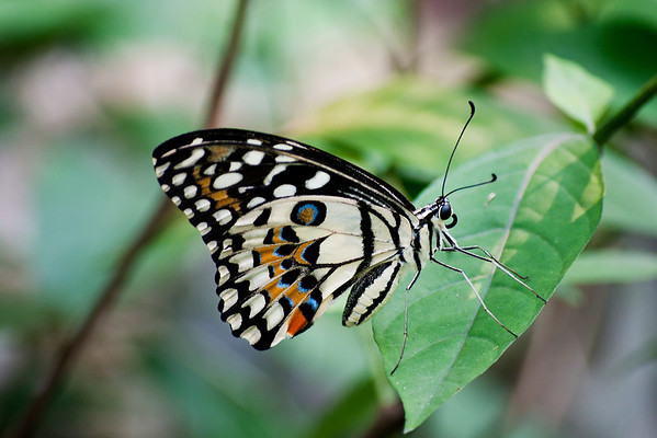 Lepidoptera: Butterflies & Moths