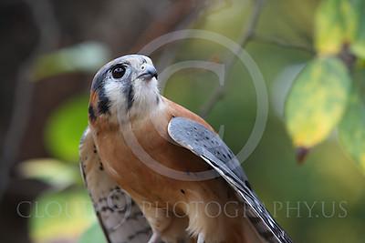 American Kestrel Wildlife Photography