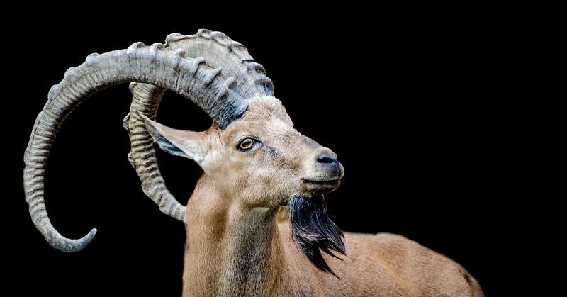 Closeup of a Nubian ibex