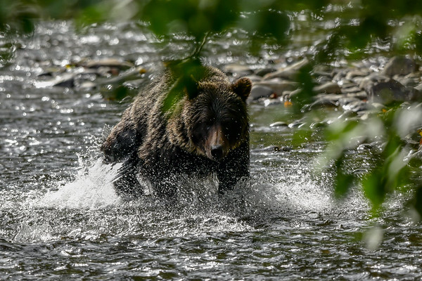 9-20-18 Grizzly Bear - The Hunt