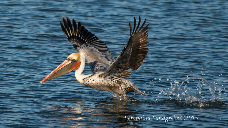 _DSC3408Pelican Take off.jpg