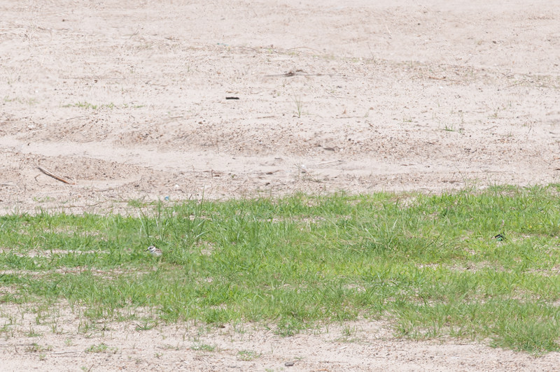 A Wilson's Plover hides in a small brush of grass at the University Beach.