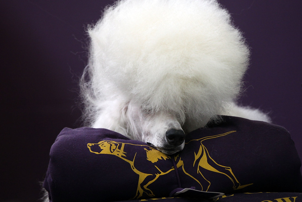 ". NEW YORK, NY - FEBRUARY 16:  A standard poodle named Paris has his hair done at the Westminster Kennel Club Dog Show on February 16, 2015 in New York City. The show, which is in its 139th year and is called the second-longest continuously running sporting event in the United States, includes 192 dog breeds and draws nearly 3,000 global competitors. This year\'s event begins on Monday and will conclude with the awarding of ""Best of Show\"" on Tuesday night.  (Photo by Spencer Platt/Getty Images)"