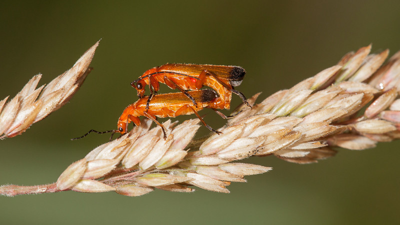 Common red soldier beetles (rhagonycha fulva) mating on dry grass.
