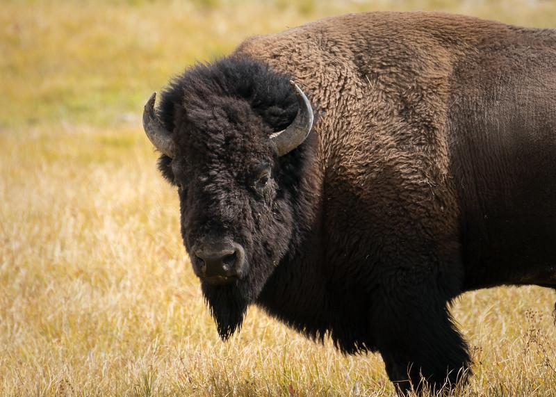 Mr. the Bison || Hayden Valley