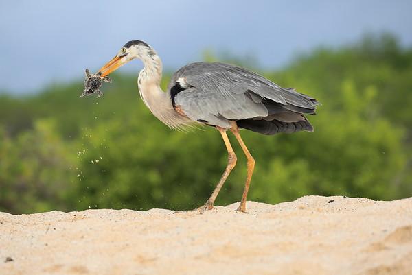 Great Blue Heron Galapagos Getting Turtle 2015