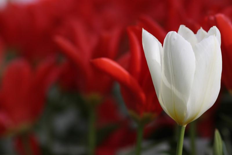 Tulips-2010 07.JPG
