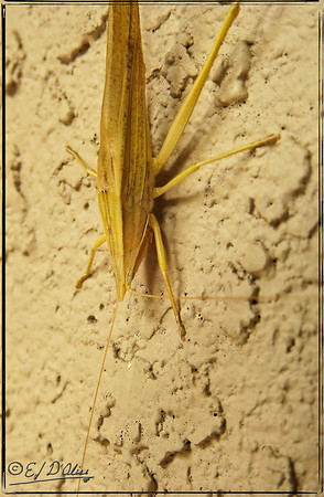 Conehead Neoconocephalus triops
