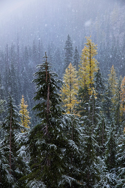 larches in snow.jpg