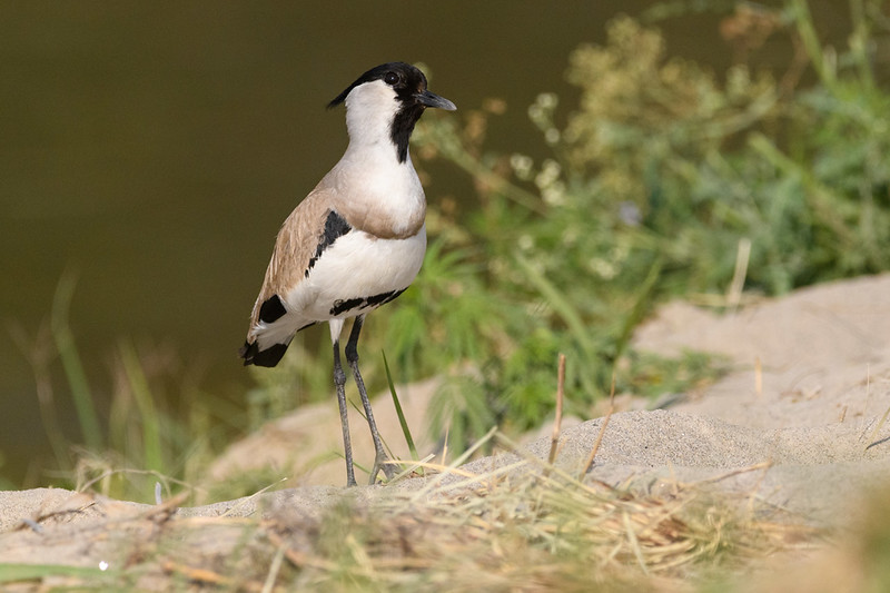 A River Lapwing or Asian Spur-winged Plover along the river in Corbett NP.