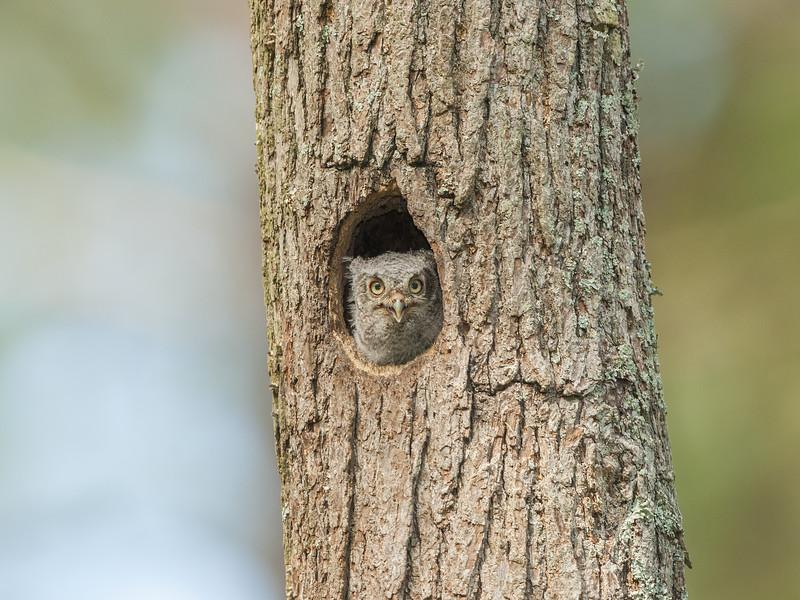 Eastern Screech Owlet.jpg