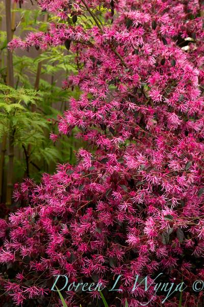 Loropetalum chinense Pipa's Red_002.jpg