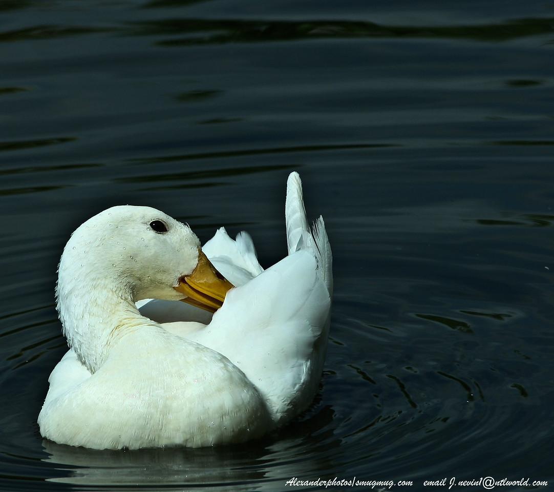 Duck Lakeside