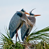 Great Blue Heron Pair on the Nest at Viera Wetlands #2 01/14