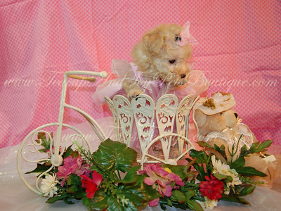 2011Poodle Puppies Sold Photo Galleries