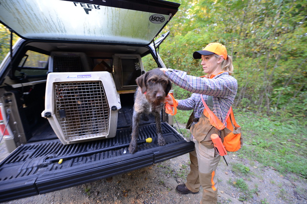 . Meadow Kouffeld-Hansen, regional biologist with the Ruffed Grouse Society, places a collar on Meine, her 4-year-old Deutsche Drahthaar before hunting in Itasca County in northern Minnesota Saturday, Sept. 19, 2015, opening day for grouse and woodcock hunting in Minnesota.(Pioneer Press: Dave Orrick)