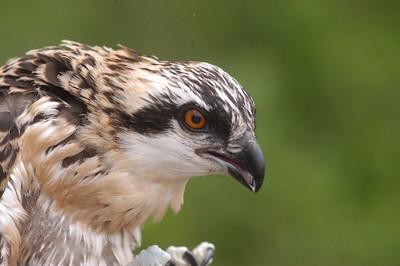 Osprey Banding Delaware County