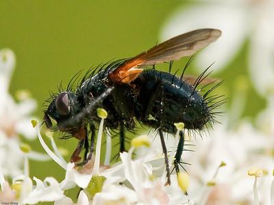 Parasite (Tachinidae)