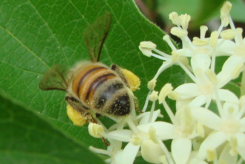A worker bee with full pollen sacs (5/2/2009).