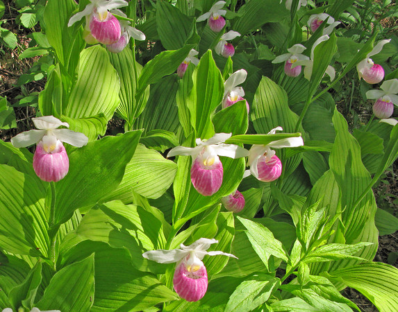 July 5, 2009 Showy Lady's-Slippers