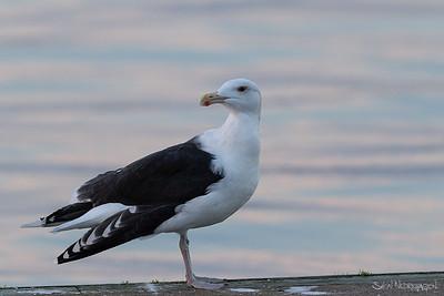 Svartbak (Great Black-backed Gull)