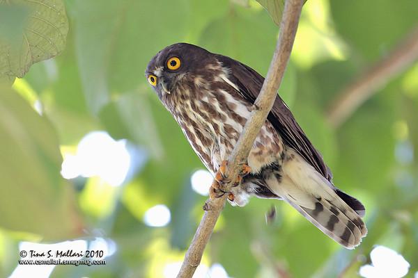 Owls - Family: Strigidae
