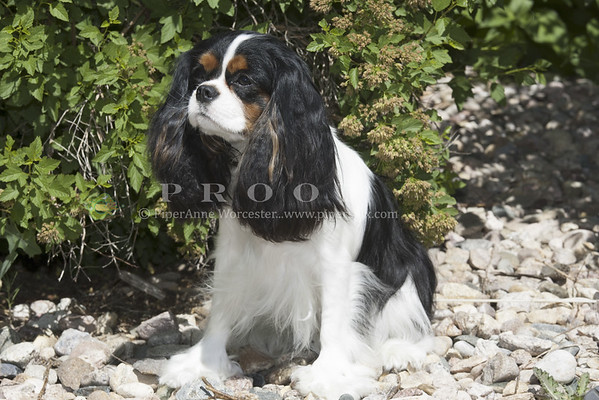 Cavalier King Charles Spaniel_PAW