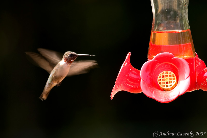 Ruby Throated hummingbird.jpg