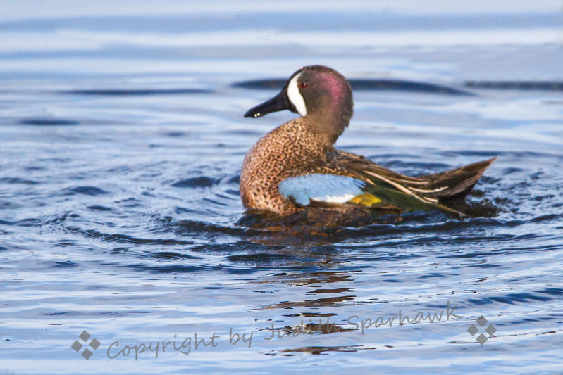 Blue=winged Teal