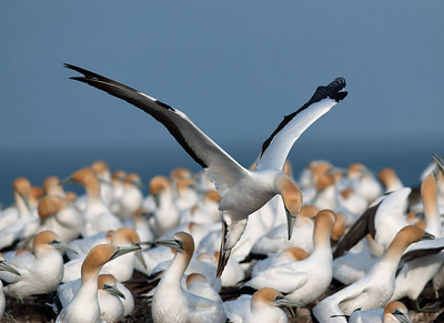 Gannets and Boobies
