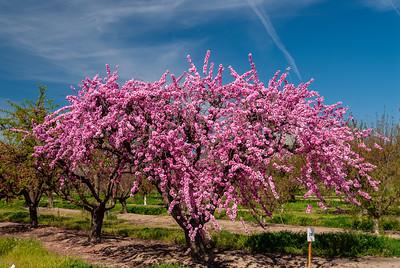 Helen Borchers Flowering Peach (Prunus persica sp.)