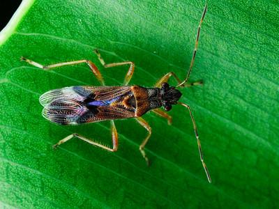Heterogastridae