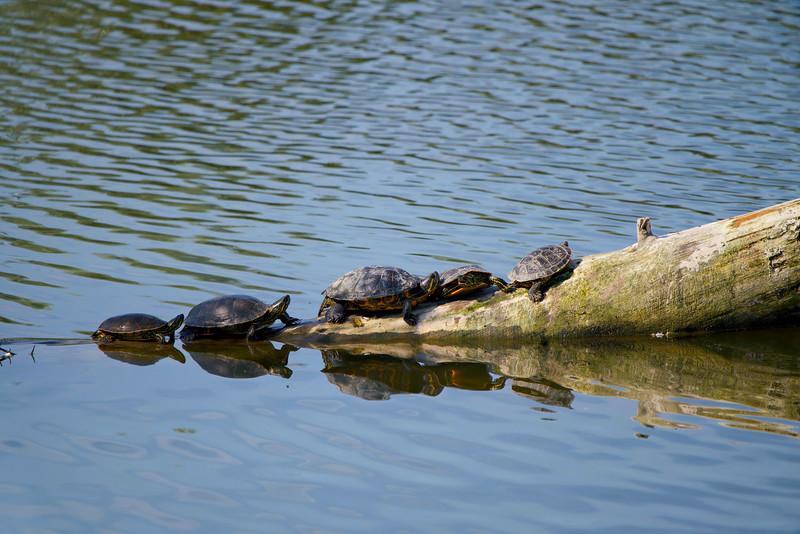 Turtles at Okanagan Lake