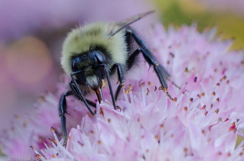Bee on Sedum.jpg