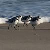 Sanderlings in Assateague National Seashore