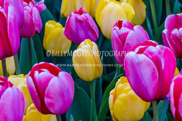 Longwood Gardens Tulips - 05 Apr 12
