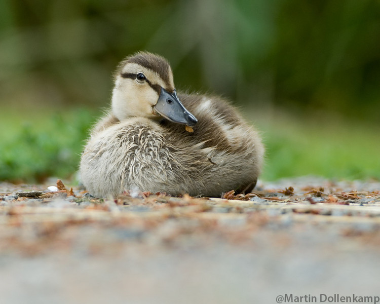 Mallard Duckling, Reifel Bird Sanctuary