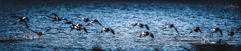 Merganser Flock.jpg