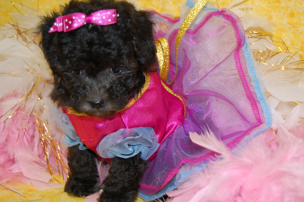 Puppy  # MP 921 SOLD TO ASHLEY Tisdale ON 10-16-2008